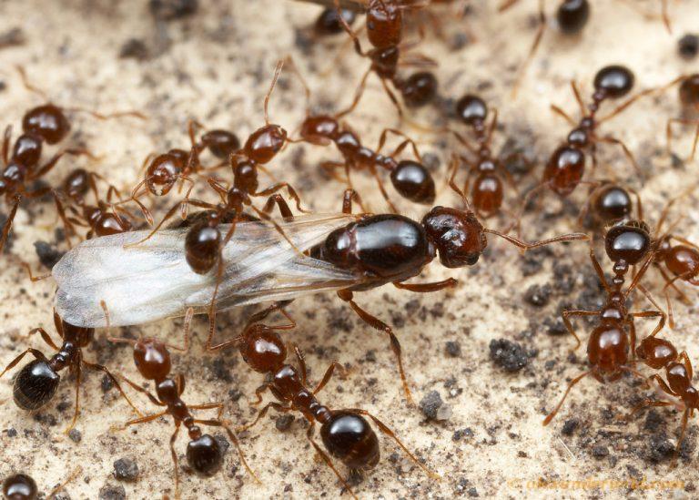 Preventing the spread of Solenopsis invicta
