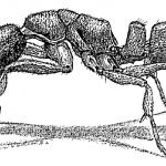 Ponera pennsylvanica