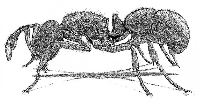 Proceratium silaceum