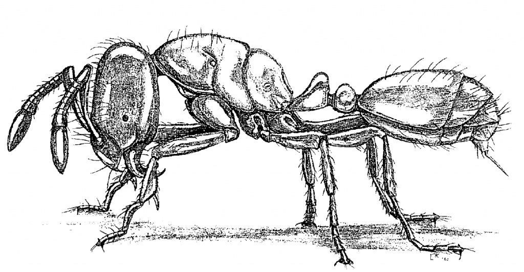 Solenopsis molesta molesta (Say). Drawing by Holly K. Coovert