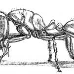 Solenopsis molesta molesta (Say). Drawing by Holly K. Coovert
