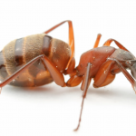 Camponotus (C.) chromaiodes