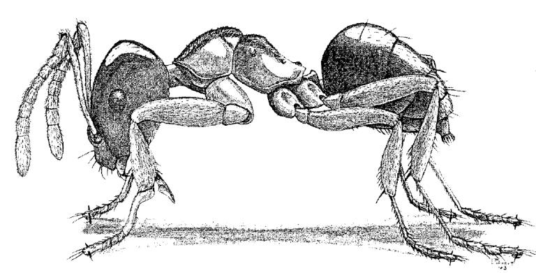 Brachymyrmex depilis
