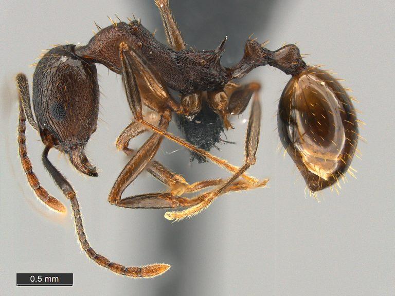 Aphaenogaster fulva