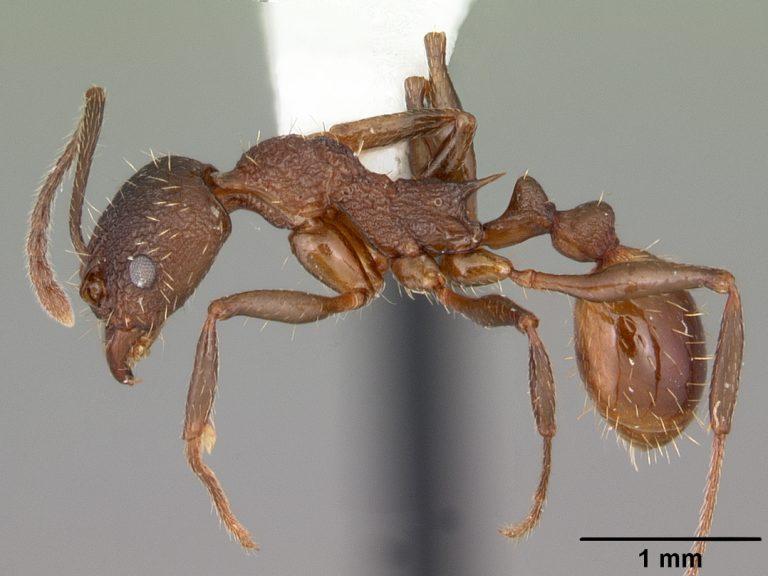 Aphaenogaster mariae