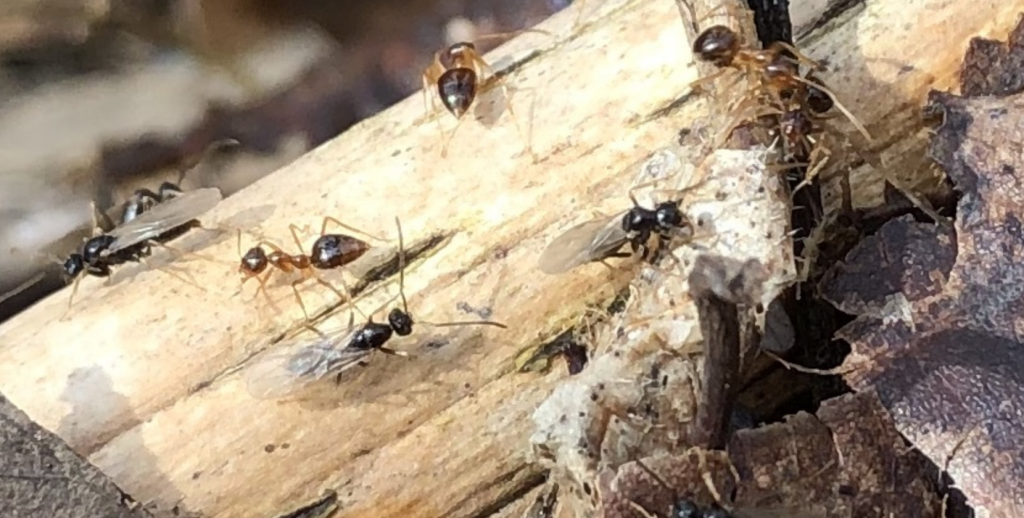 Prenolepis imparis prepare for flight in Southern Ohio